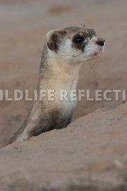 ferret_stretch_from_burrow_close-1