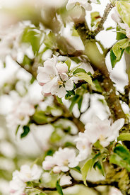 Apple blossoms 4