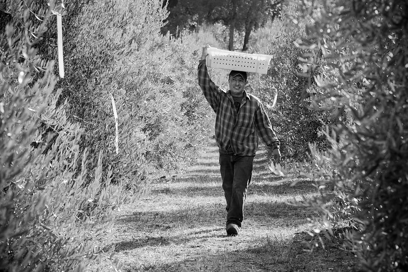 Olive harvest in Napa Valley by Jason Tinacci