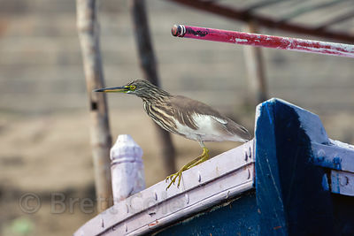 Pond Heron (sp.) along the Ganges River, Varanasi, India.
