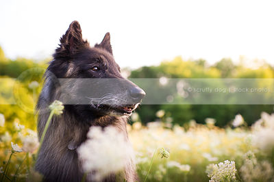 portrait of sable and black shepherd dog in meadow flowers