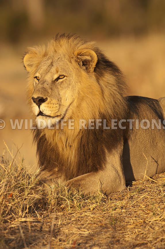 lion_king_portrait_vertical_5