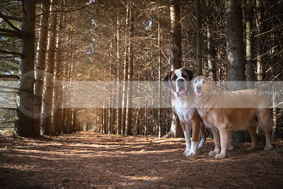 st bernard and golden retriever dogs standing together in pine forest