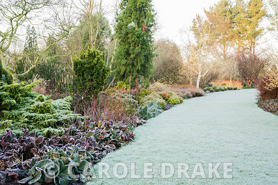 Frosty Winter garden includes colourful stems of birches and dogwoods, evergreens including conifers, clipped box balls, berg...