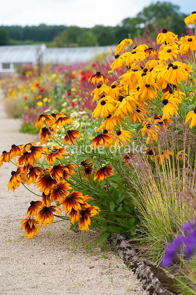 Bronze annual rudbeckias with Molinia caerulea subsp. caerulea 'Variegata' in foreground in the hot borders. Helmsley Walled ...