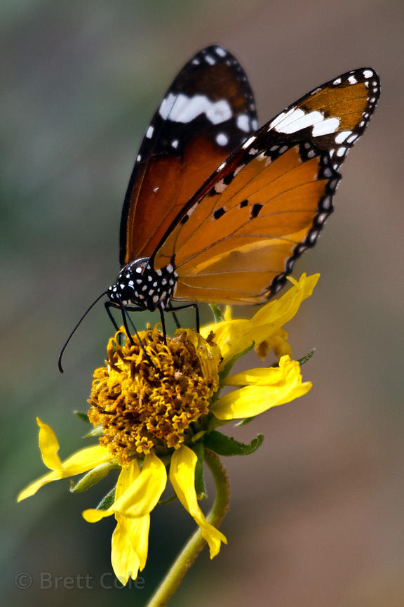 Butterfly on a flowering shrub in Pushkar, Rajasthan, India