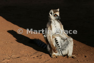 Female Ring-Tailed Lemur (Lemur catta) sunbathes to warm up in early morning, while protecting her youngster's face behind he...