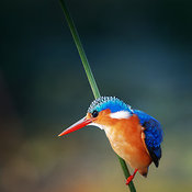 Malachite Kingfisher perched on a green reed
