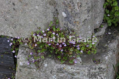Ivy-Leaved Toadflax (Cymbalaria muralis ssp muralis) growing in the stonework of the ruined medieval Augustinian nunnery, Isl...