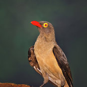 Redbilled Oxpecker (Buphagus erythrorhynchus) perched on impala