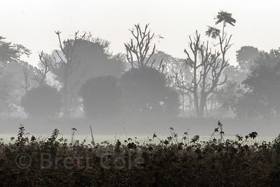 Early morning winter fog on a rose farm, Surajkund village, Rajasthan, India