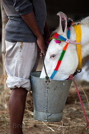 A man providing water to a beautiful white horse, Pushkar, Rajasthan, India