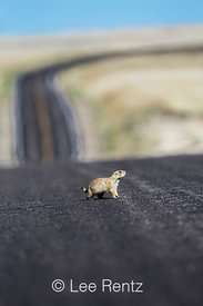 Black-tailed Prairie Dog Crossing Road in Badlands National Park