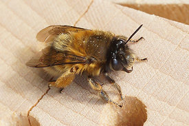 Anthophora plumipes, female