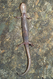 Plethodon asupak, Scot Barr salamander at their terra typica in the Scott Barr area, California ( 2006/03/20)