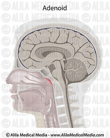 Adenoid location in the head