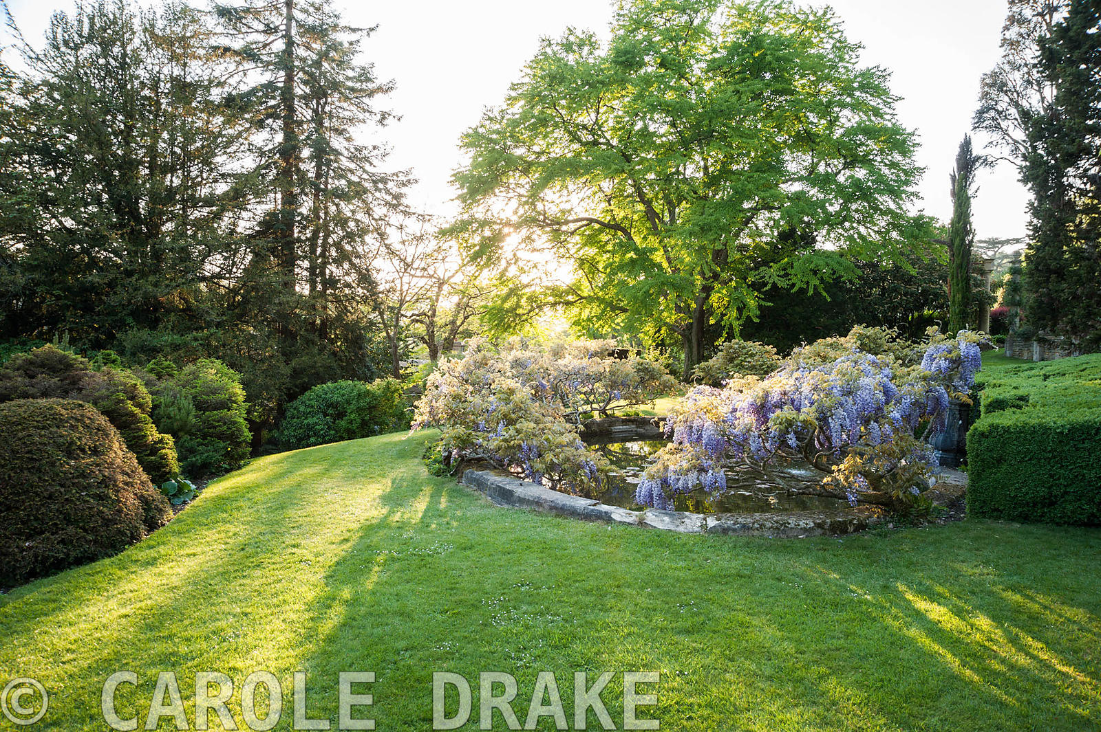 Evening sun rakes across the lawn around the lily pool surrounded by wisterias. Iford Manor, Bradford-on-Avon, Wiltshire