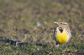 January - Western Meadowlark