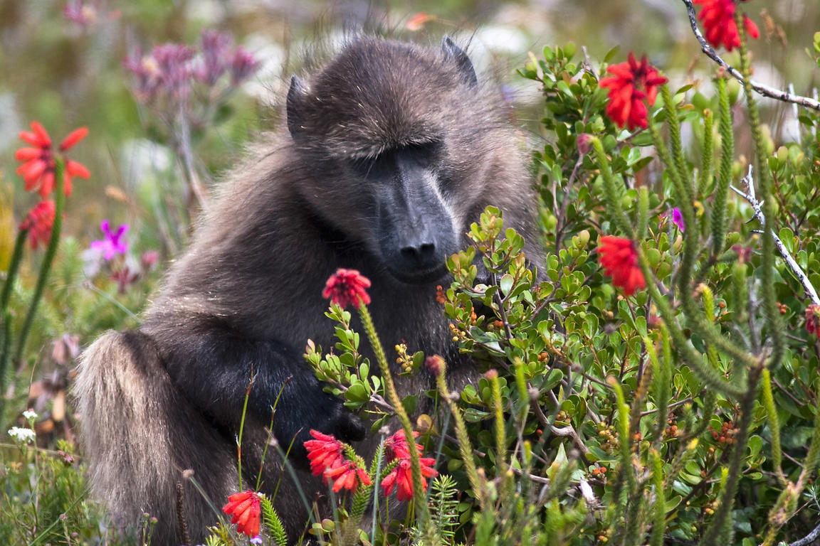 A chacma baboon eats Fire Heath, Smitswinkel Flats, Cape Peninsula, South Africa