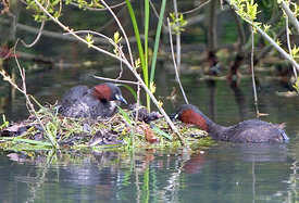 April - Little Grebes
