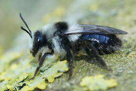 Andrena cineraria at Kanaalbermen , Bellem ( 2013/04/21)