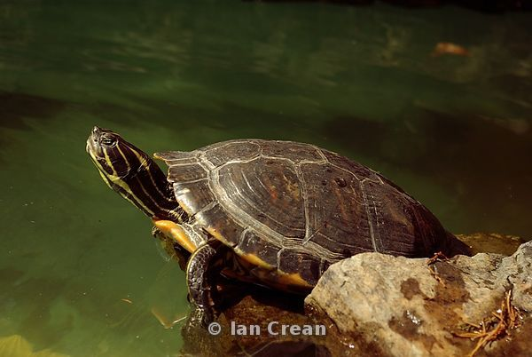 Basking Painted Turtle
