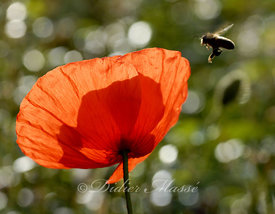Coquelicot et abeille 3 Ennery Val d'Oise 06/09
