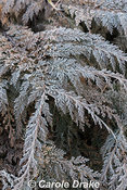 Frosted foliage of ground cover conifer Microbiota decussata in January