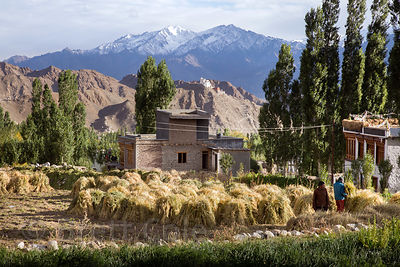 Autumn barley harvest in Leh, Ladakh, India