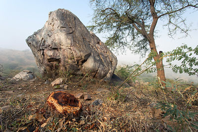 Stump of a desert tree cut for some local use, Pushkar, Rajasthan, India. Such logging is almost completey unregulated.
