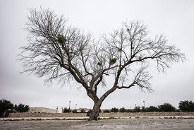 Chris King - Mesquite Tree in winter - 76903 (2014)
