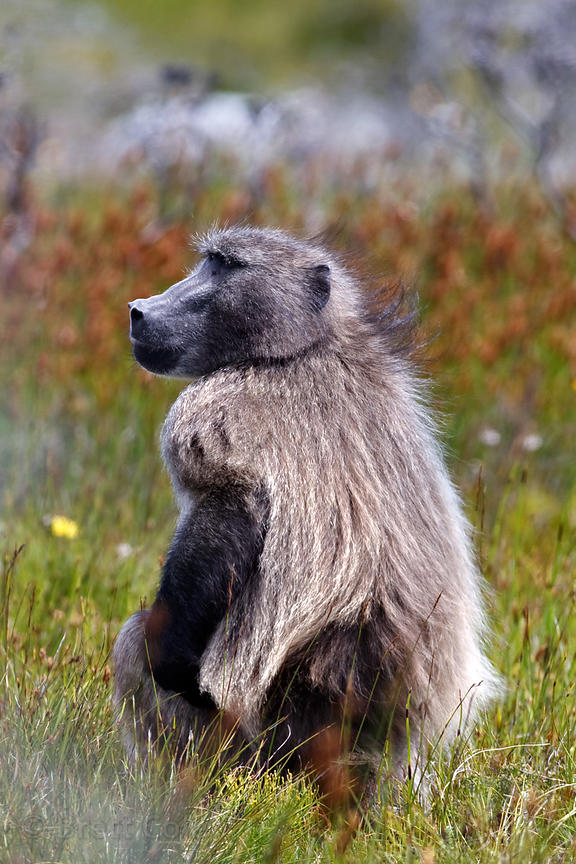 Alpha male baboon from the Kanonkop troop in Smitswinkel Flats, Cape Peninsula, South Africa