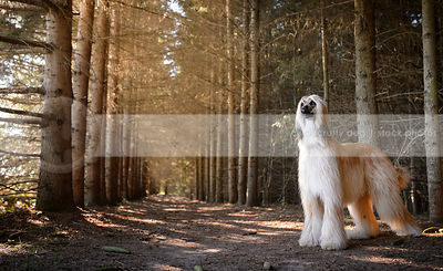 regal Afghan hound dog standing in forest of pine trees
