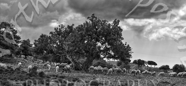 Cyprus_Sheep-Edit_B_W