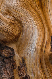 Limber Pine with Exposed Wood in Great Basin National Park