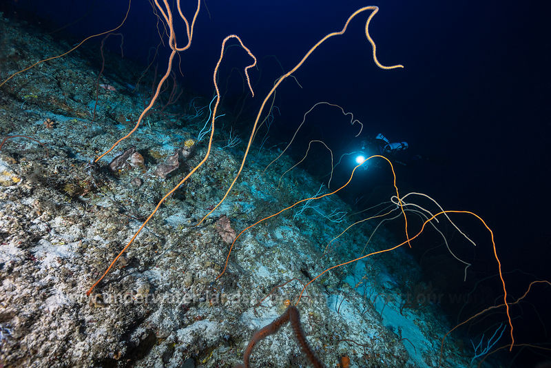 Whip coral field at 93 meters deep