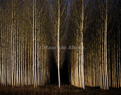 A forest of poplars at Geria, Coimbra, Portugal