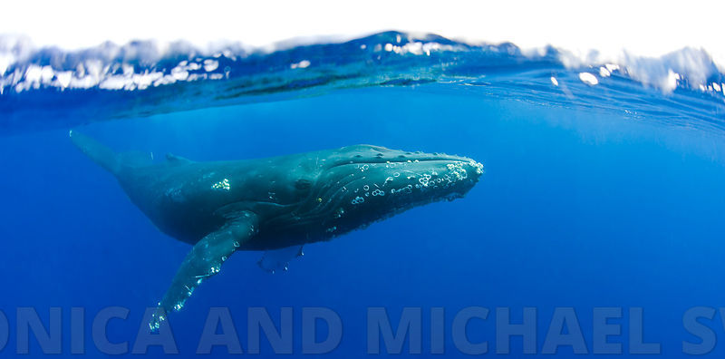whale_under_over_hawaii