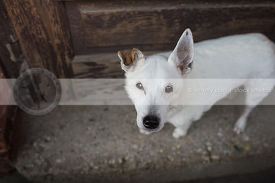 overhead photograph of small senior white dog on concrete  door stoop