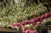Acroclinium roseum Giant Double Mixed and Lagurus ovatus, hare's tails, hanging to dry in the storeroom above the shop and re...
