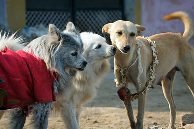 Stray dogs adorned with clothes and necklaces, Varanasi, India.