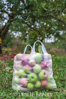 Bag of Apples in Orchard