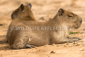 capybara_beach_rest_close-2