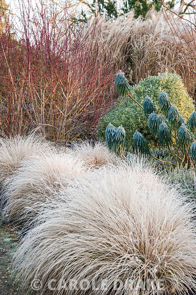 Pennisetum setaceum 'Purpureum' with euphorbia and cornus behind. Sir Harold Hillier Gardens, Ampfield, Romsey, Hants, UK