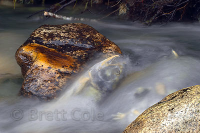 A spawned Chum Salmon sits between rocks in a stream, veiled by running water. Great Bear Rainforest, British Columbia