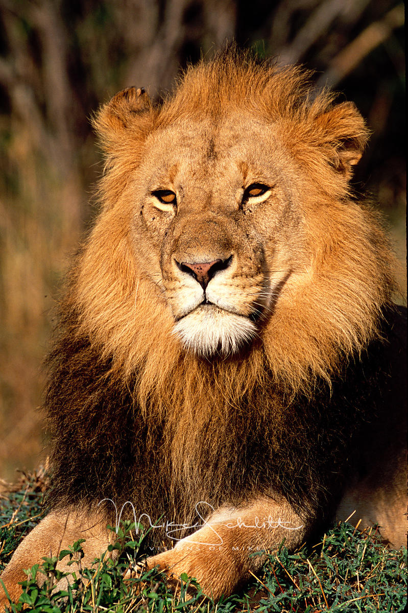 B_Africa_Lion_Male_close_up_2