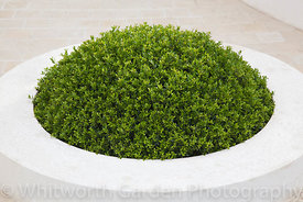 Buxus (Box) topiary mound in white container. Cancer Research UK Garden, Designer Robert Myers, Sponsor Cancer Research UK. R...