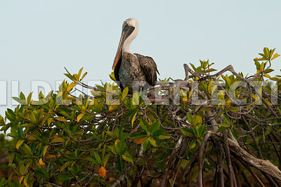 brown_pelican_mangroves_2