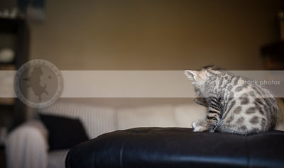 brown tabby kitten from behind licking grooming indoors at home