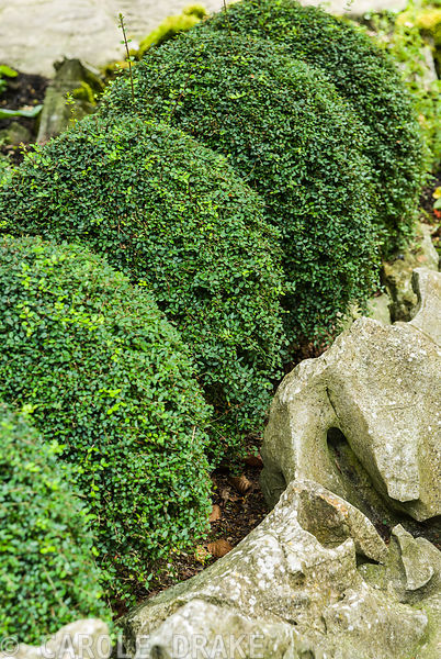 Clipped Lonicera nitida behind an edging of river washed limestone. Beggars Knoll, Newtown, Westbury, Wiltshire, UK
